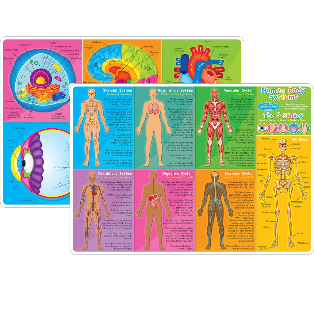 Get Ashley Productions Smart Poly Human Body Systems Anatomy Learning Mats 10ct At Michaels Com